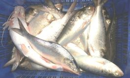 Poverty endangers the Hilsa in Bangladesh